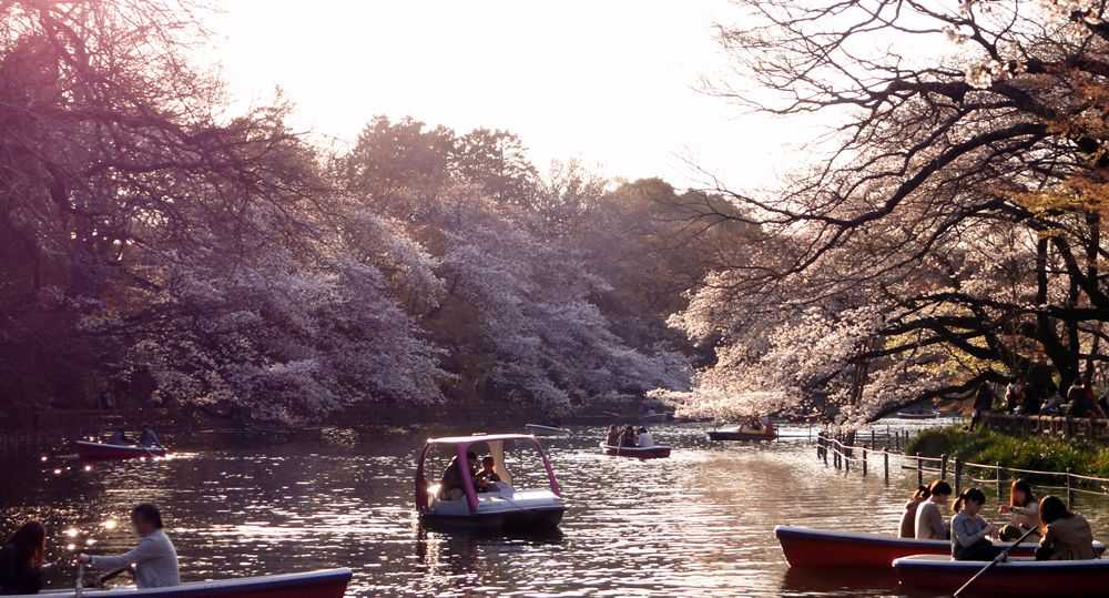 Inokashira Park during the hanami season